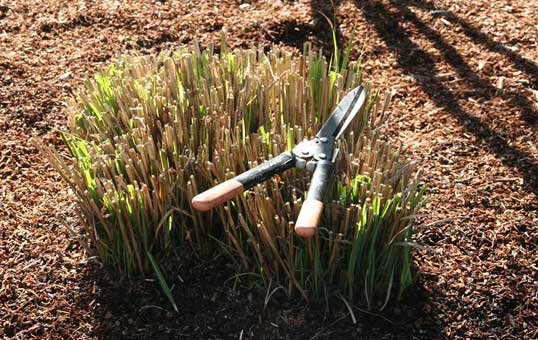 When To Cut Ornamental Grasses Cut back perennials ornamental grasses garden barn a great way to clean up your landscape in the spring is to cut back your perennials and ornamental grasses removing the old material will make room for new workwithnaturefo