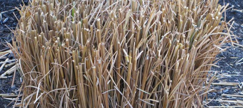 When To Cut Ornamental Grasses Cut back perennials ornamental grasses garden barn cut back perennials ornamental grasses workwithnaturefo