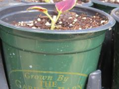 Garden Barn Grown Pot