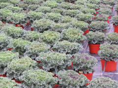 Garden Barn Grown Kale