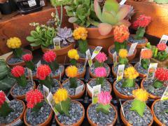 Garden Barn Cactus