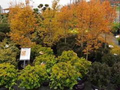 Katsura Maples & Ninebark Shrubs