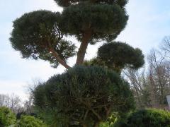 Large Poodle Pine