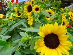Garden Barn Sunflowers